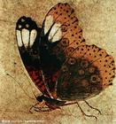 表现描写蝴蝶的古代中国画《写生蛱蝶图》,宋代赵昌画